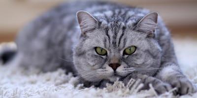 Graue Katze auf Teppich