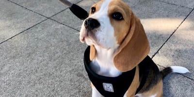 beagle-non-passeggia