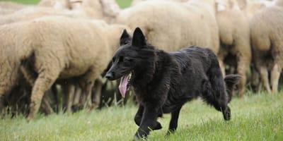 Black dog herding sheeps