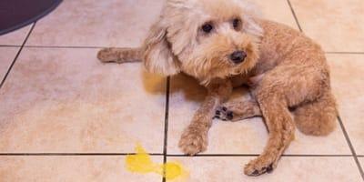 Was bedeutet es, wenn der Hund gelb erbricht?
