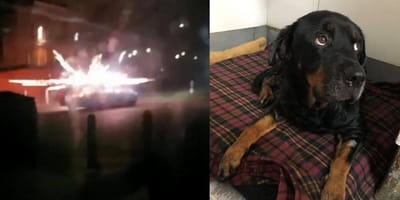 Montage of fireworks outside animal hospital, and one scared resident inside