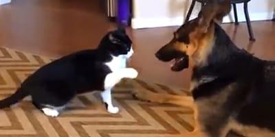 Katze hebt Pfote gegen Schäferhund