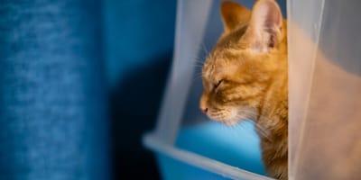 felino en el arenero intentando sacar sus excrementos de gato