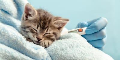 Jak zmierzyć kotu temperaturę w domowych warunkach?