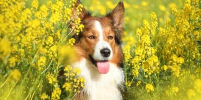 Pies w polu rzepaku