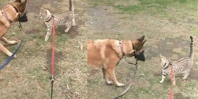 gatto del bengala incontra pastore tedesco al parco