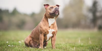 The news about Staffies that you've been waiting for