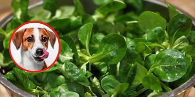 Dürfen Hunde Feldsalat essen?