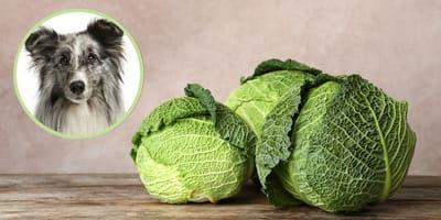 Wirsing für Hunde: Darf er es essen?