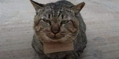Bury kot z kartką na szyi napisana po tajsku