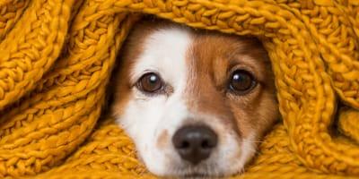 Przeziębienie u psa - jak je rozpoznać i leczyć?