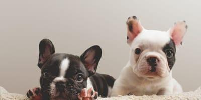 nomi per Bulldog francese