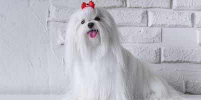 maltese dog with red bow in hair
