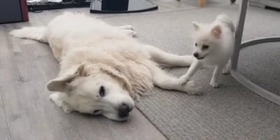 Golden Retriever and Pomeranian sibling