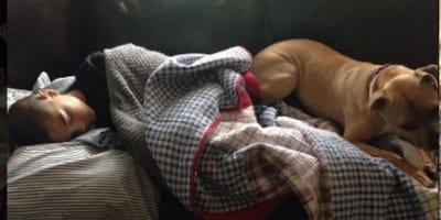 brown pitbull sleeping on sofa with young boy