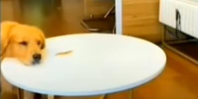 cane-con-muso-sul-tavolo