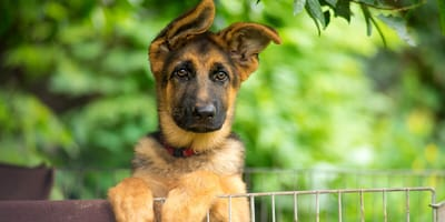 Man shocked when he realises why GSD puppy was dropped off at his boarding kennel