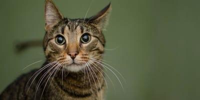 gatto tigrato con M in fronte