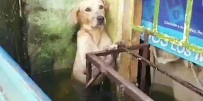 Labrador stojący w wodzie.
