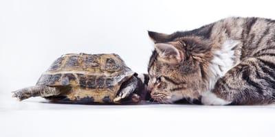 Kot i żółw walczą o szynkę