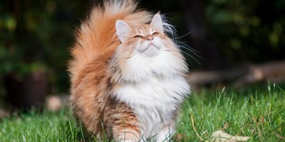gato noruego fotos instagram