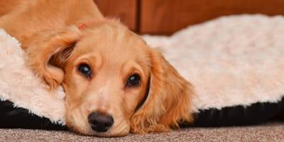 Żółtaczka u psa – przyczyny, objawy, leczenie i zapobieganie