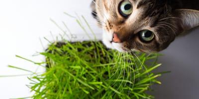 Dove si compra l'erba gatta e quali sono i suoi benefici?