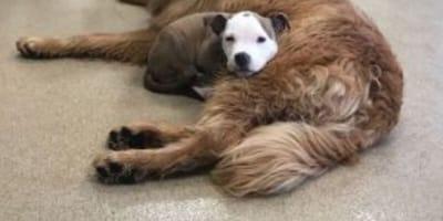 Pitbull puppy sleeping on Golden Retriever
