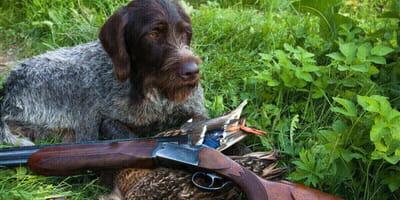 perro escopeta caza
