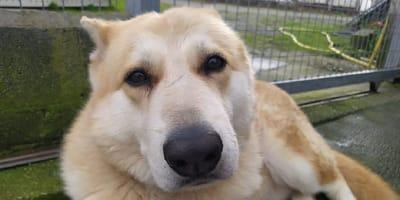 Can de Palleiro dog breed