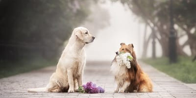 Labrador with Shetland carrying flowers