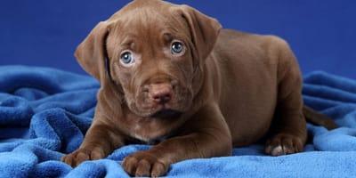 nomi per Pitbull cucciolo marrone
