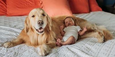 Sposób, w jaki te dwa golden retrievery pilnują noworodka, jest najsłodszy na świecie!
