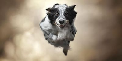 Still frame of a collie flying through the air