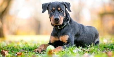 Rottweiler Mischling: Charakter, Erziehung und Gesundheit