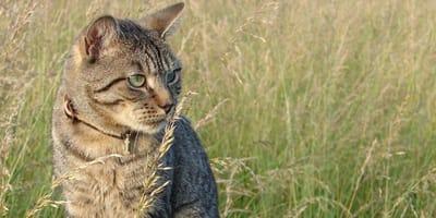 Gatto guarda graminacee