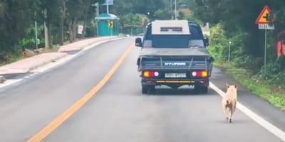 Suczka biegnąca za samochodem