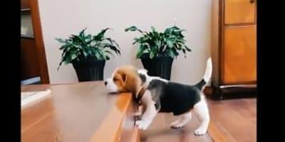 Beagle na schodach