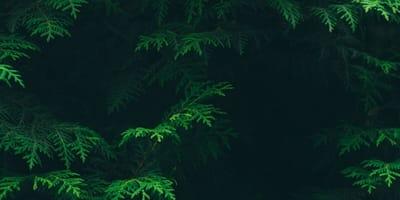 cespuglio-di-conifere