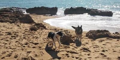 dos perros juegan en la playa