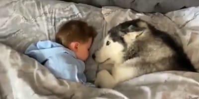 Husky i dziecko w łóżku.
