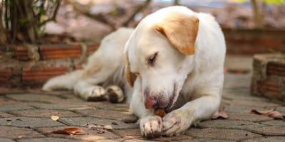 pueden los perros comer tamarindo