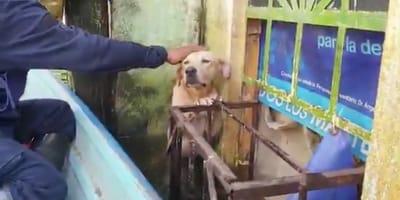 salvataggio Labrador