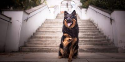 Czeskie rasy psów - od wilczaka czechosłowackiego po praskiego ratlera