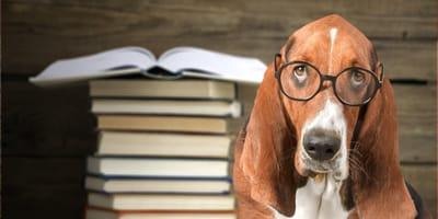 perro basset hound con gafas puestas y libros a su izquierda
