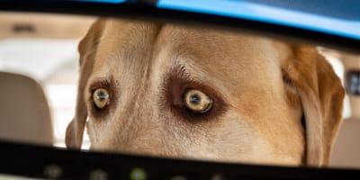 mira perro raza labrador