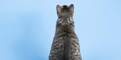 gato gris de espaldas sobre fondo azul