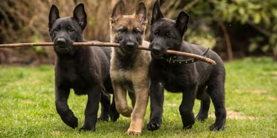 Schäferhund-Namen: Ideen für die sportlichen Vierbeiner