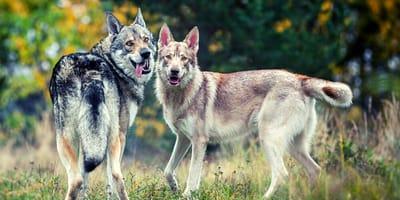 razze di cani simili ai lupi