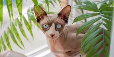 Kot bez sierści –poznaj 5 ras kotów bezwłosych